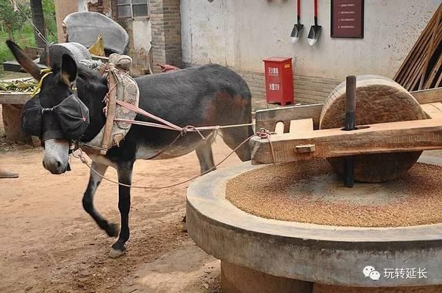 驴拉磨磨面粉,古老的制作工艺图片