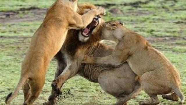 一只雄狮遭遇母狮的攻击却不还手,看完后才知道雄狮的