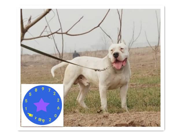杜高犬价格,纯种杜高犬价格一只多少钱