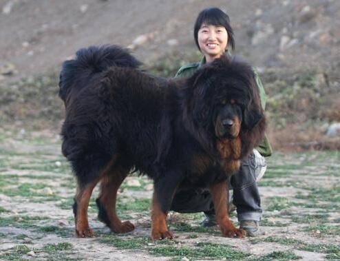 中国最大的藏獒王_世界上最大的藏獒王,站立高度1.8米(体重200公斤)