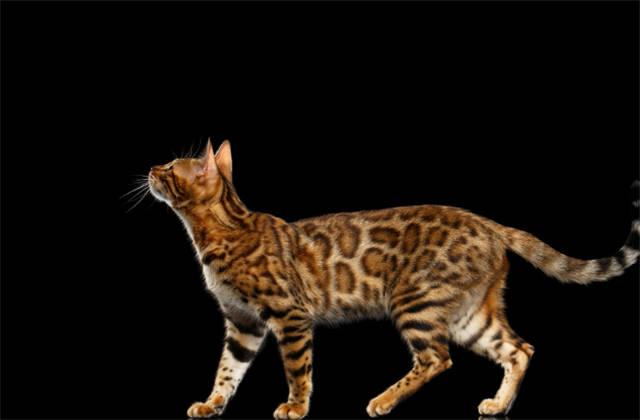 亚洲豹猫_它的祖先亚洲野生豹猫和埃及猫都是比较聪明的猫,而两者的结合为