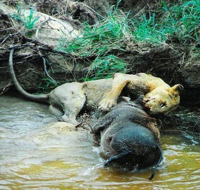幼逼幼咪_给自己的幼崽美餐一顿,不料疣猪的威力竟如此之大,活活把母狮逼上\