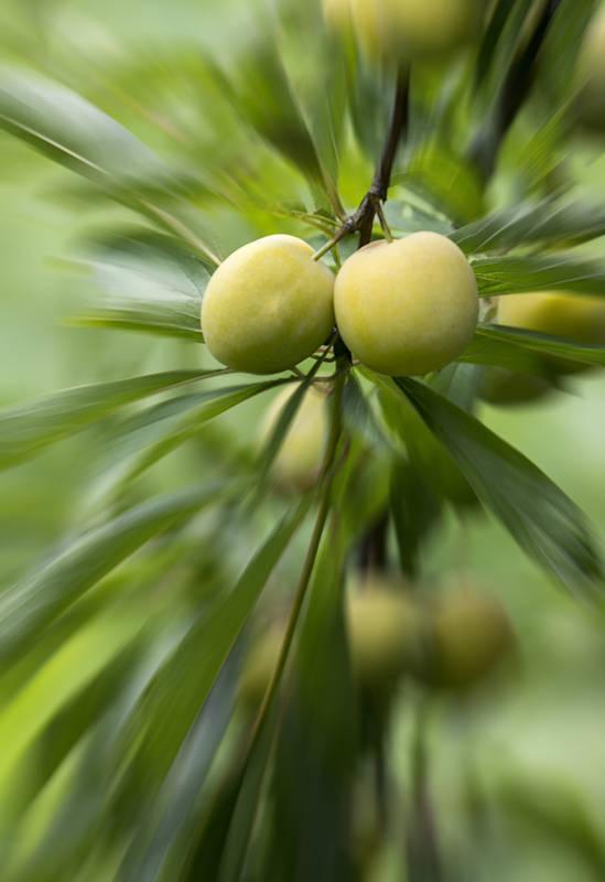 因漫山遍野的桃树李树而得美名