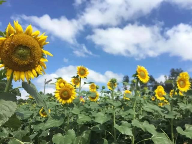 夏日小清新,河婆西坑村向日葵花开了!约吗?