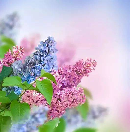 丁香花开妙用的丁香图片