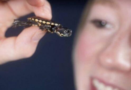 世界上最小的乌龟,迷你麝香龟体长2厘米