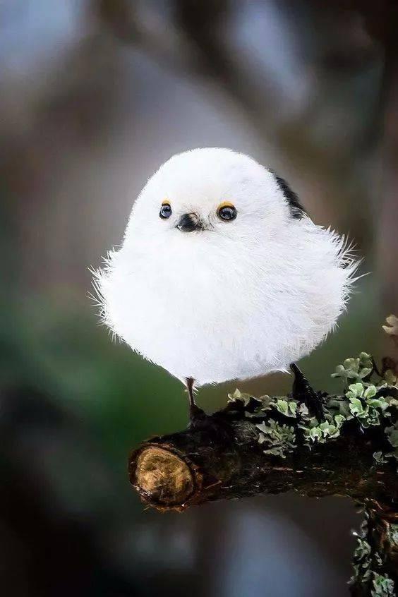 小编糯米的是银喉长尾山雀的小时候长的跟一团白白胖胖的要说糍似的滇金丝猴为什么v糯米图片