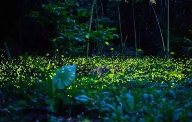 你多久没见萤火虫了?浙里10个超美的观赏地温州也有!仲夏夜一起去寻流萤吧 温州龙鱼论坛 温州龙鱼第13张