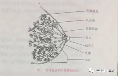 腺+��\y���l9�.����(c9��_女性的乳房内部结构还包含乳腺腺泡,它是成熟乳腺组织的基本构成, 是