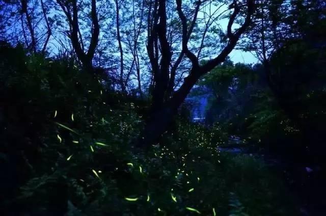 你多久没见萤火虫了?浙里10个超美的观赏地温州也有!仲夏夜一起去寻流萤吧 温州龙鱼论坛 温州龙鱼第2张