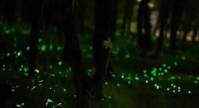 你多久没见萤火虫了?浙里10个超美的观赏地温州也有!仲夏夜一起去寻流萤吧 温州龙鱼论坛 温州龙鱼第15张