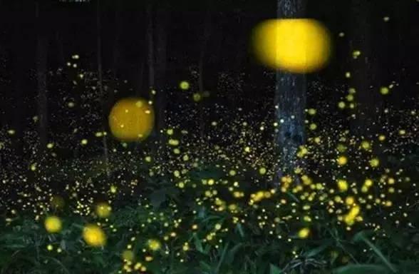 你多久没见萤火虫了?浙里10个超美的观赏地温州也有!仲夏夜一起去寻流萤吧 温州龙鱼论坛 温州龙鱼第17张