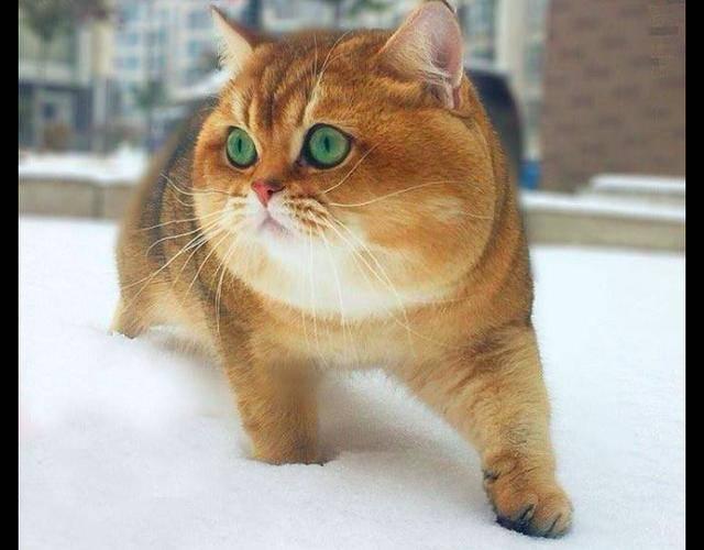 看这只猫咪的背影,还以为是只柴犬,不仅身子胖,脸也太