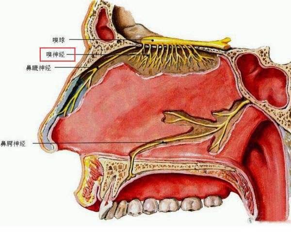 瓣开下体_2,吸气时鼻腔阻塞 鼻瓣区狭窄临床表现主要为吸气时鼻腔阻塞,有单侧
