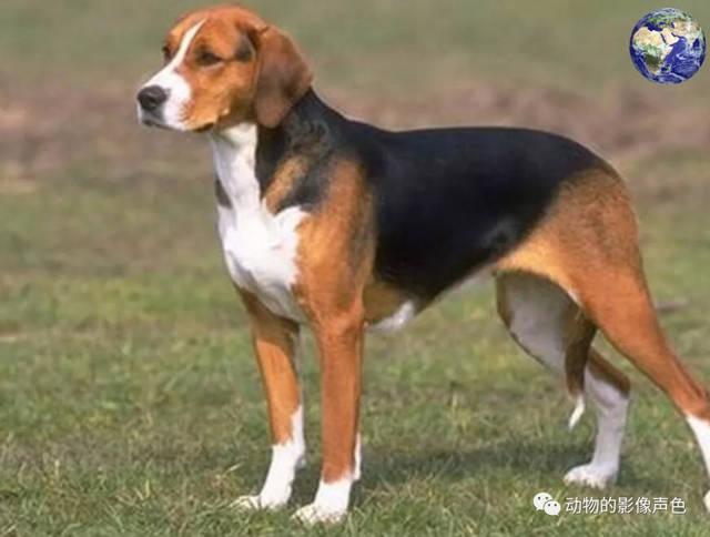 美国猎狐犬,风一样的奔跑速度,世界排名第二的猎犬
