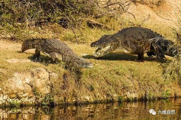 鳄鱼作为冷血的爬行动物,自然也会有大鳄鱼吃小鳄鱼的行为,这一次, 大