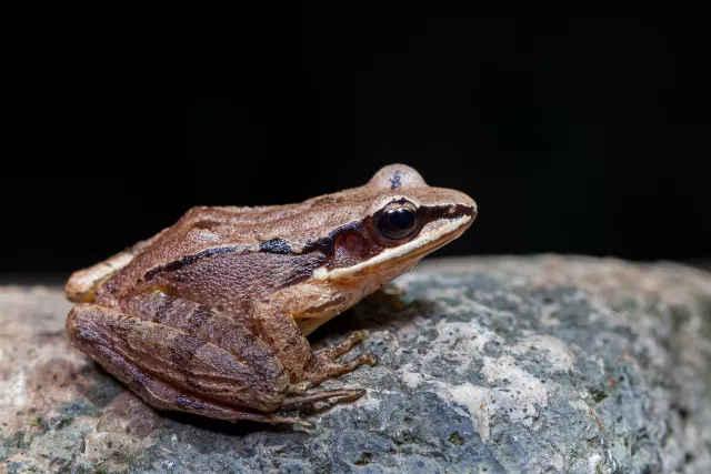 动漫黄色搞笑囹�a_凹耳臭蛙. 赵锷 摄 这是一只亚成年的雌性凹耳臭蛙odorrana tormota.