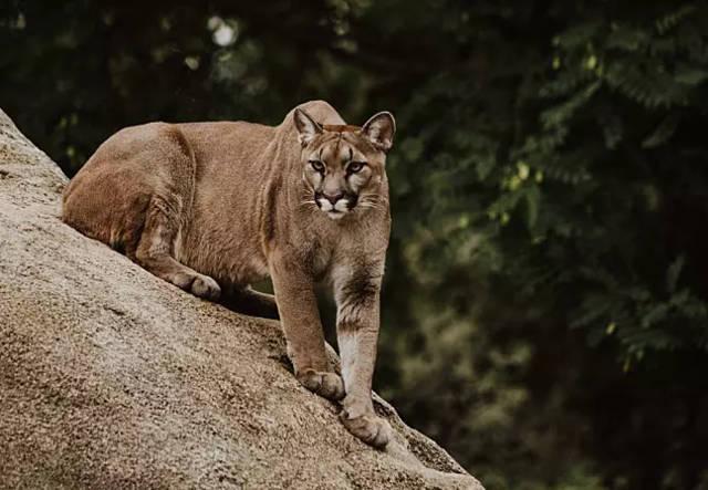 亚洲金猫_金猫分布在亚洲,所以也叫亚洲金猫,而美洲金猫(美洲狮)分布在美洲.