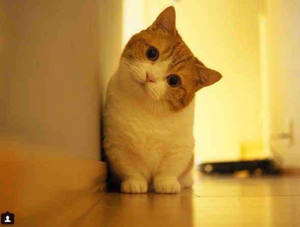 短腿猫咪有这——么可爱!网红小猫茶太郎和妹妹的日常