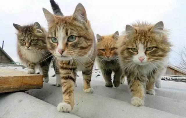 我们一起学猫叫,就能一起喵喵喵?
