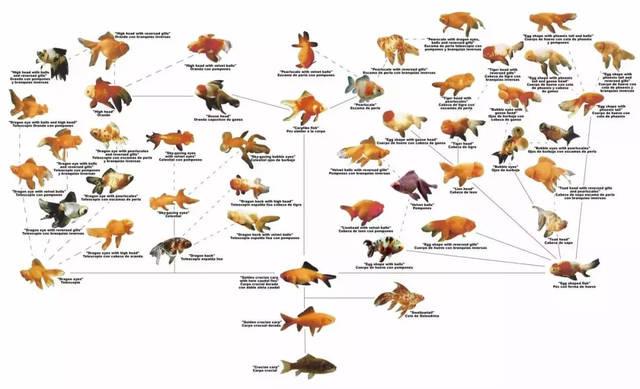 鲫鱼的演化 那么究竟是什么因素,让灰头土脸的鲫鱼脱胎换骨成夺目的金鱼? 物种演化的八字真言是基因突变,自然选择,而金鱼演化则是基因突变,人工选择。 这与平时繁育宠物狗的手段如出一辙,只不过人类对金鱼的改造更为极致与剧烈。 经过中国人几百年的打造,金鱼已失去了鲫鱼的任何单一外表特征。 从体色、体形、头型、眼型、鳞片、背、尾、臀鳍等,基本上从头到尾彻底换了一条鱼。