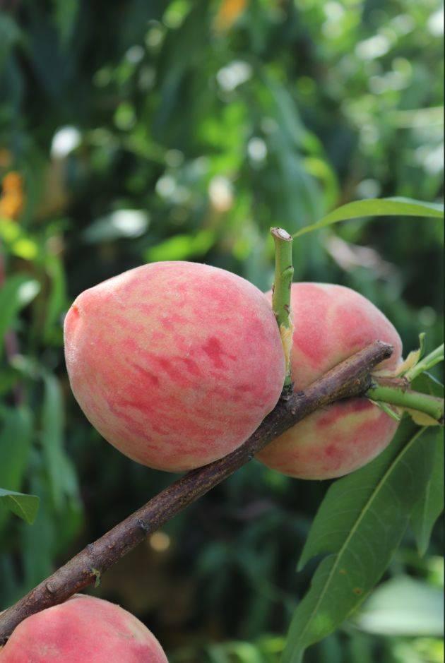 三垟湿地的水蜜桃成熟了,又大又甜超级好吃!采摘约起!