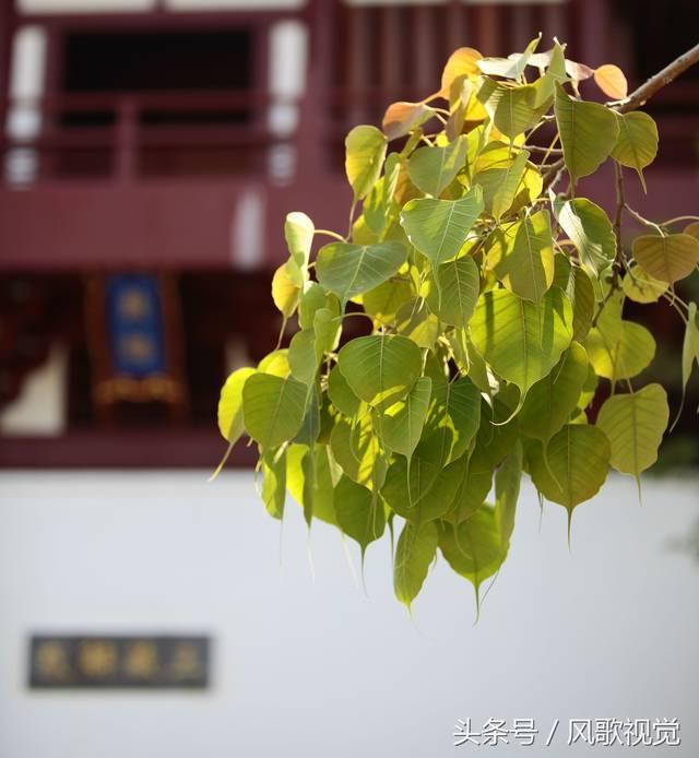 三亚南山寺得大自在的禅意:一树一世界,一叶一菩提图片