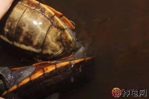 男和女再水里交配_种龟的交配水位会影响受精率?