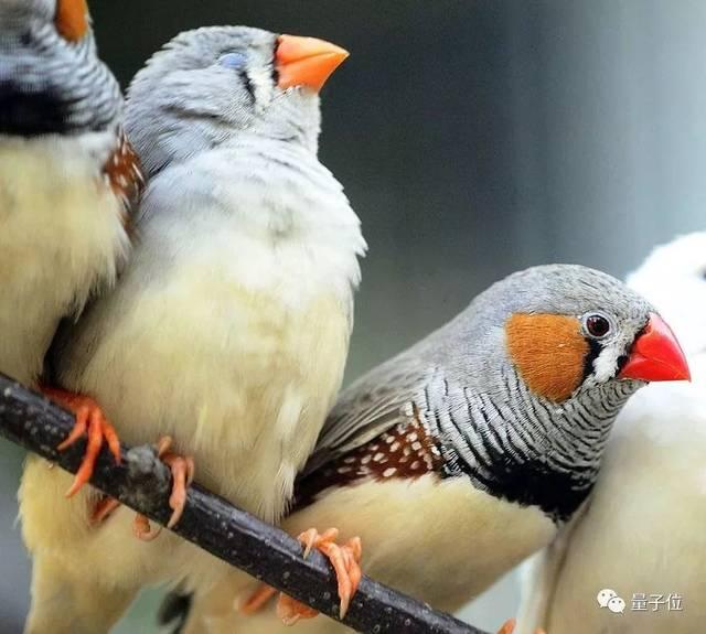 斑胸草雀,胸前有高贵的斑马纹,也叫珍珠鸟,会唱歌