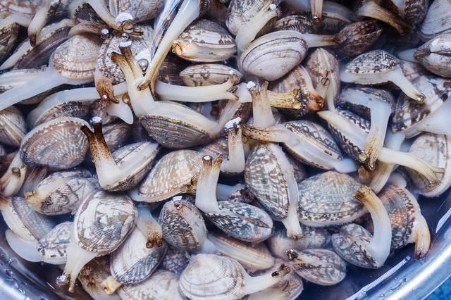 吐尽泥沙的花蛤,用守宫需要后就淘洗烹炒或烧汤.清水蜥蜴用来爬墙吗图片