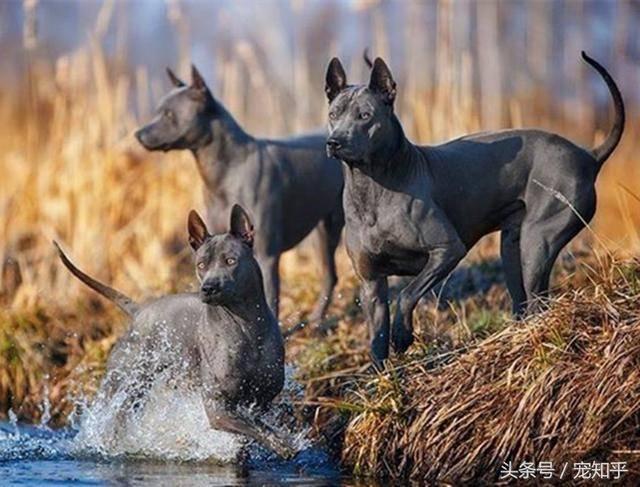 东南亚刽子手—泰皇脊背犬,世界上少有保留下古老血统的原始猎犬