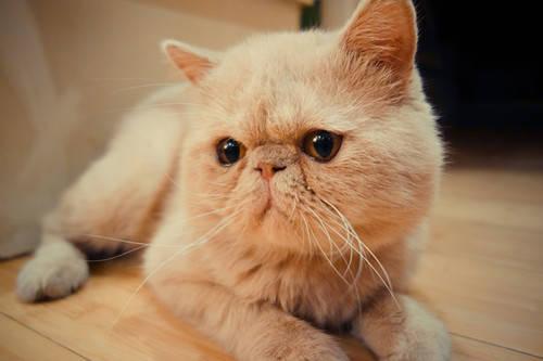 需要猫主人坚持到加菲猫反群结束,猫主人在选择的时候可以根据具体的