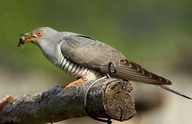 5是吃鱼的害虫,吃翠鸟的毛虫,学人说话的鹦鹉,专吃蛀干杜鹃的蝈蝈一次喂几只面包虫图片