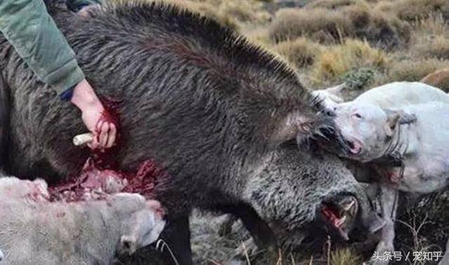 杜高犬用鲜血与生命在谱写着猎犬之王的传奇