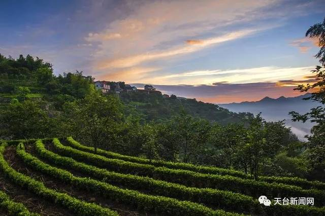 """【新闻天台】天台这个地方设立50万专项基金来打造全域""""茶花园""""!"""