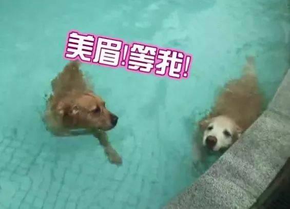 女人和狗欢爱拔不出_狗狗在泳池艳遇小母狗,主人打骂都拉不回来,汪:不要打扰我撩妹