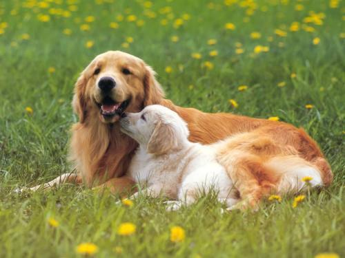金毛流口水老长的粘稠,狗狗唾液臭图片