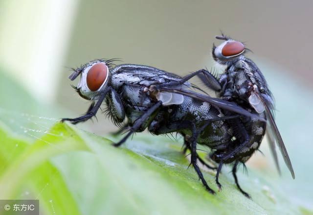 夏天一到苍蝇满屋子乱飞?学会这1招,苍蝇来多少死多少图片