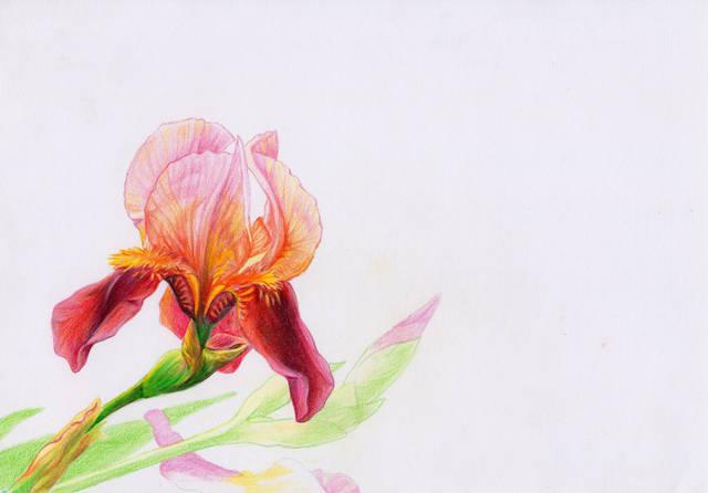 彩铅手绘写实花卉鸢尾花自学教程