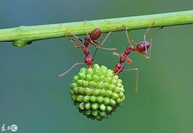 高难度!蜘蛛搬食堪比杂技v蜘蛛什么蚂蚁最牛图片