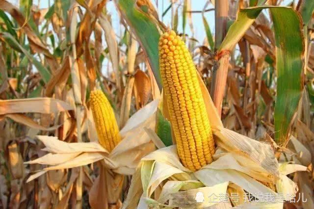 风景色彩玉米画