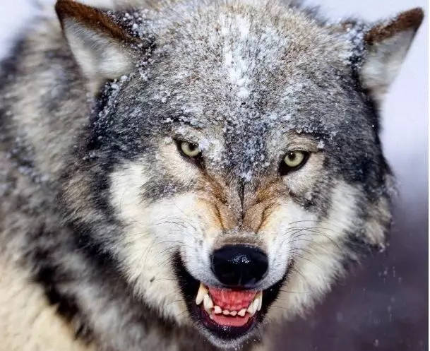 她养了一只白眼狼,终自害.图片