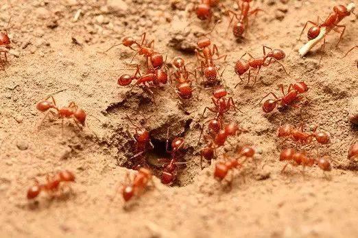 红火蚁又出来惹事,江门有人被咬到休克!鹤山人千万别碰