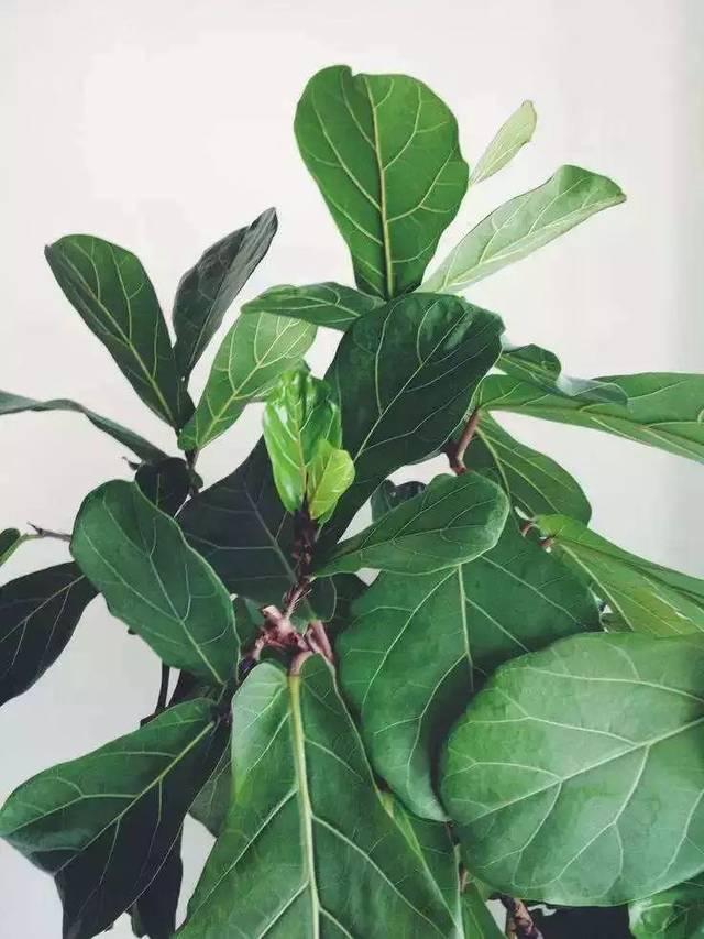 琴叶榕 图片