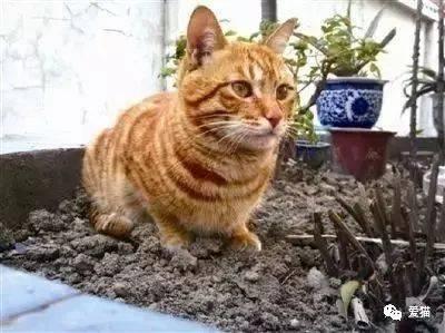橘猫的花纹呈现四种分布类型 橘猫的花纹通常被称为虎斑纹,共分四种