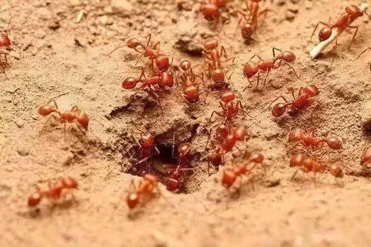 这就是红火蚁