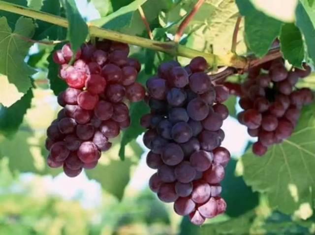 攀枝花这个设备每年v设备葡萄酒需要3200吨葡萄!年产量方法车间布置步骤及地方图片