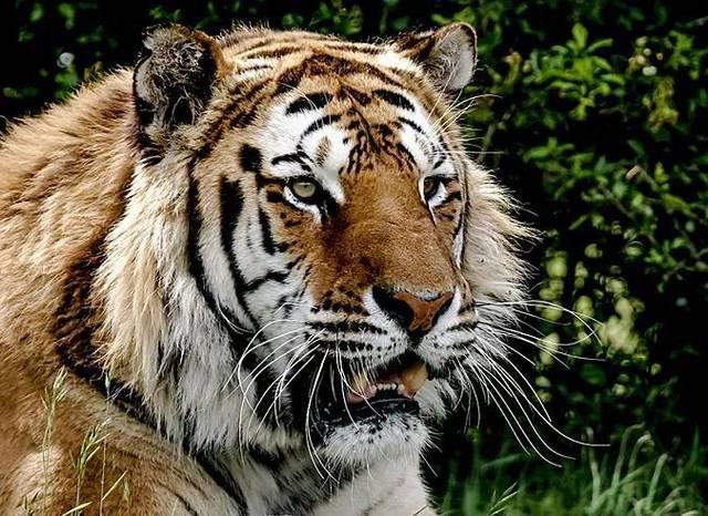 孕妇梦见老虎豹子追咬