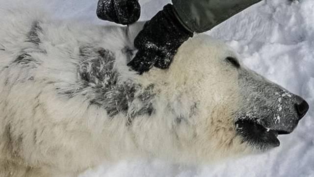 北极熊的毛竟不是全身的!那为何北极熊看起来白色都是蚊子叮咬后红了好几天图片