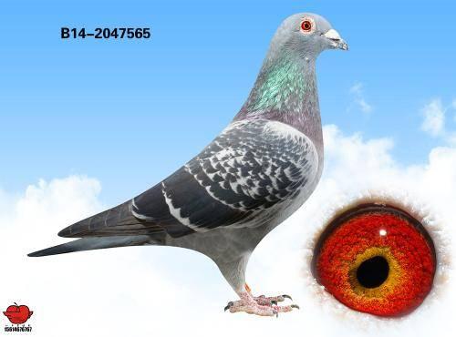 鸟类鸽鸽子鸟背景500_370大象牛魔王动物图片